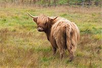 Highland Cattle Stock Photo - Premium Royalty-Freenull, Code: 600-03659197