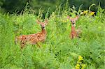 Twins Fawns, Eagle Lake near Haliburton, Ontario, Canada Stock Photo - Premium Rights-Managed, Artist: Peter Christopher, Code: 700-03665635