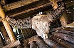 Water Buffalo Skull, Sumba, Lesser Sunda Islands, Indonesia Stock Photo - Premium Rights-Managed, Artist: R. Ian Lloyd, Code: 700-03665810