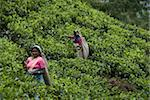Tea plantations, Nuwara Eliya, Hill Country, Sri Lanka, Asia Stock Photo - Premium Rights-Managed, Artist: Robert Harding Images, Code: 841-03672370