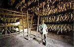 Tobacco farmer standing in his tobacco drying hut against rows of drying tobacco leaves hung on wooden racks, Vinales Valley, Pinar Del Rio, Cuba, West Indies, Caribbean, Central America