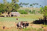A farmer ploughing his field with oxen, UNESCO World Heritage Site, Vinales Valley, Cuba, West Indies, Caribbean, Central America