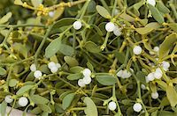 Bundle of mistletoe at stall, Christmas Market, Svornosti Square, Cesky Krumlov, Ceskobudejovicko, Czech Republic, Europe Stock Photo - Premium Rights-Managednull, Code: 841-03673098