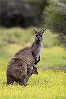 Kangaroo Island grey kangaroo (Macropus fuliginosus), Flinders Chase National Park, Kangaroo Island, South Australia, Australia, Pacific Stock Photo - Premium Rights-Managednull, Code: 841-03674061