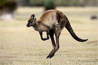 Kangaroo Island grey kangaroo (Macropus fuliginosus), Kelly Hill Conservation, Kangaroo Island, South Australia, Australia, Pacific Stock Photo - Premium Rights-Managednull, Code: 841-03674068