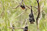Grey-headed flying fox (Pteropus poliocephalus), Yarra Bend Park, Melbourne,Victoria, Australia, Pacific Stock Photo - Premium Rights-Managed, Artist: Robert Harding Images, Code: 841-03674298
