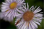 Woodwasp (Xiphydriidae) on a showy daisy (Erigeron speciosus), Glacier National Park, Montana, United States of America, North America Stock Photo - Premium Rights-Managed, Artist: Robert Harding Images, Code: 841-03674536