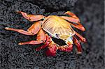 Sally lightfoot crab (Grapsus grapsus), Cormorant Point, Isla Santa Maria (Floreana Island), Galapagos Islands, Ecuador, South America Stock Photo - Premium Rights-Managed, Artist: Robert Harding Images, Code: 841-03675109