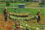 Farmers with tobacco leaves tied on pole for drying, Vinales. Cuba, West Indies, Caribbean, Central America