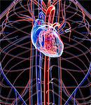 Human heart, computer artwork. Stock Photo - Premium Royalty-Freenull, Code: 679-03680377