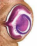 Developing pig eye, light micrograph. From right the structures seen are: the cornea (brown), the lens (purple), the retina (pink), the choroid (dark brown line) and the sclera (white of the eye, brown). The optic nerve is at centre left. Stock Photo - Premium Royalty-Free, Artist: Cultura RM, Code: 679-03680575
