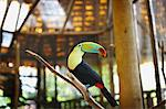Toucan in Zoo, Costa Rica Stock Photo - Premium Royalty-Free, Artist: Brian Pieters, Code: 600-03681946