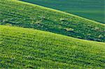 Hilly Wheat Field near Ronda, Malaga Province, Andalusia, Spain