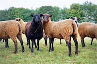 domestic sheep - Flock of Shetland Sheep, Cotswolds, Gloucestershire, England Stock Photo - Premium Rights-Managednull, Code: 700-03682429