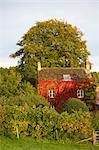 Old Farmhouse Covered in Red Boston Ivy in Autumn, Cotswolds, Gloucestershire, England Stock Photo - Premium Rights-Managed, Artist: Tim Hurst, Code: 700-03682430