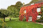 Old Farmhouse Covered in Red Boston Ivy in Autumn, Cotswolds, Gloucestershire, England Stock Photo - Premium Rights-Managed, Artist: Tim Hurst, Code: 700-03682431