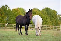Brown Mule and White Pony in Field, Cotswolds, Gloucestershire, England Stock Photo - Premium Rights-Managednull, Code: 700-03682432