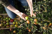single fruits tree - Young woman picking fresh apples Stock Photo - Premium Royalty-Freenull, Code: 614-03684467