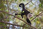 White-Faced Capuchin, Guanacaste, Costa Rica Stock Photo - Premium Royalty-Free, Artist: Pierre Arsenault, Code: 600-03685850