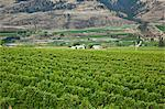 Vineyards, Okanagan Valley near Oliver, British Columbia, Canada Stock Photo - Premium Rights-Managed, Artist: J. A. Kraulis, Code: 700-03685955
