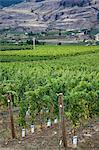 Vinyards, Okanagan Valley near Oliver, British Columbia, Canada Stock Photo - Premium Rights-Managed, Artist: J. A. Kraulis, Code: 700-03685958