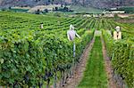 Vineyards and Scarecrow, Okanagan Valley near Oliver, British Columbia, Canada Stock Photo - Premium Rights-Managed, Artist: J. A. Kraulis, Code: 700-03685961