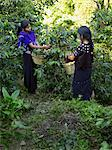 Guatemalan Girls Picking Coffee Cherries, Finca Vista Hermosa, Huehuetenango, Guatemala Stock Photo - Premium Rights-Managed, Artist: Michael Mahovlich, Code: 700-03686207