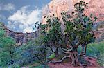 Tree and Towers of the Virgin, Zion National Park, Utah, USA Stock Photo - Premium Rights-Managed, Artist: Patrick Chatelain, Code: 700-03692001