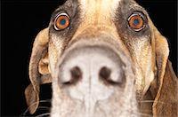 Brazilian mastiff (Fila Brasileiro), close-up Stock Photo - Premium Royalty-Freenull, Code: 694-03693948