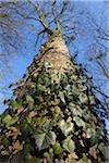 Ivy on Tree, Aschaffenburg, Franconia, Bavaria, Germany Stock Photo - Premium Royalty-Free, Artist: Raimund Linke, Code: 600-03697821