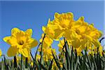 Daffodils, Spessart, Bavaria, Germany Stock Photo - Premium Royalty-Free, Artist: Raimund Linke, Code: 600-03697850
