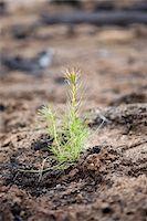 Pine Seedling in Burnt Forest, British Columbia, Canada Stock Photo - Premium Royalty-Freenull, Code: 600-03698368