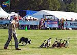 England, Shropshire, Weston Park. Rounding up geese with a sheep dog during a demonstration at the Game Fair Stock Photo - Premium Rights-Managed, Artist: AWL Images, Code: 862-03711025