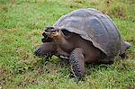 Galapagos Islands, A giant tortoise after which the Galapagos islands were named. Stock Photo - Premium Rights-Managed, Artist: AWL Images, Code: 862-03711506