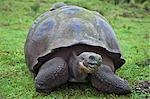 Galapagos Islands, A giant tortoise after which the Galapagos islands were named. Stock Photo - Premium Rights-Managed, Artist: AWL Images, Code: 862-03711508