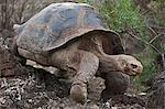 Galapagos Islands, A giant domed tortoise after which the Galapagos islands were named. Stock Photo - Premium Rights-Managed, Artist: AWL Images, Code: 862-03711511