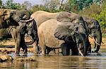 Ghana,Northern region,Mole National Park. Elephants in Mole National Park drinking at water hole. Stock Photo - Premium Rights-Managed, Artist: AWL Images, Code: 862-03711627