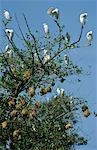 Ghana,Brong Ahafo Region,Techiman. Egrets in a nesting colony. Stock Photo - Premium Rights-Managed, Artist: AWL Images, Code: 862-03711631