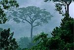 Ghana,Eastern region,Atewa. A large forest tree stands out at dawn. Atewa is one of the reserves protecting trees from being used as firewood. Stock Photo - Premium Rights-Managed, Artist: AWL Images, Code: 862-03711648