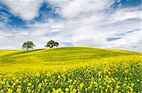 Rape Fields in Orcia Valley, Tuscany, Italy Stock Photo - Premium Rights-Managednull, Code: 862-03712425