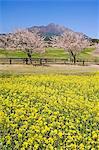 Kirishima National Park,Takachiho Farm spring cherry trees and rape seed field