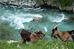 Wild goats, Cares Gorge, Central Massif, Picos de Europa, Spain