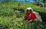 Sri Lanka, Central Highlands. A Tamil tea plucker plucks leaves using her stick to ensure an even 'table' across the tea garden. Stock Photo - Premium Rights-Managed, Artist: AWL Images, Code: 862-03713517