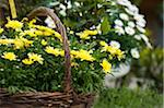 Yellow Marguerites in Basket, Salzburg, Salzburger Land, Austria