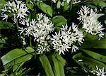 Wild Garlic Growing in a Sussex Wood Stock Photo - Premium Rights-Managed, Artist: foodanddrinkphotos, Code: 824-03722079