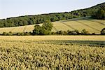 A Wheat Field on a Summer's Evening in West Sussex Stock Photo - Premium Rights-Managed, Artist: foodanddrinkphotos, Code: 824-03722094
