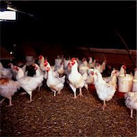Chickens in Shed Stock Photo - Premium Rights-Managednull, Code: 824-03722584