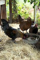 Free range Chickens Stock Photo - Premium Rights-Managednull, Code: 824-03722608