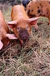 Piglets Stock Photo - Premium Rights-Managed, Artist: foodanddrinkphotos, Code: 824-03722652