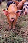Piglet in Field Stock Photo - Premium Rights-Managed, Artist: foodanddrinkphotos, Code: 824-03722661